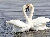 Courtship Dance Of Two Swans