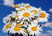 Bouquet Daisy Wild Flowers Against Blue Sky Background With Clouds. Camomiles Or Daisies Bouquet In  poster