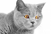 Shorthair British Cat On The Hunt At Home Close-up. A Purebred Gray Cat Is Preparing To Jump For Pre poster
