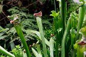 Sarracenia Leucophylla, Sarraceniaceae, North America Southeastern. Exotic Flower. Carnivorous Pitch poster