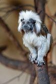 Cotton-top Tamarin On Tree Branch. Saguinus Oedipus poster