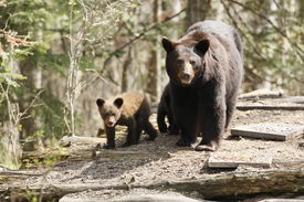 image of bear-cub  - A mother bear and cubs traveerse a log pile - JPG