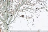 stock photo of ring-dove  - Collared dove roosting in an aspen tree on a cold snowy morning - JPG
