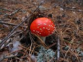 The Small Fly-Agaric