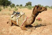 Camel Safari In Thar Desert,Rajastan,India
