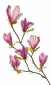 Flowering Branch Of Magnolia