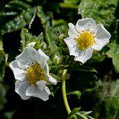 White flower Fragaria