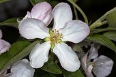 White Flower Apple-tree Malus