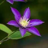 Blue Flower Clematis
