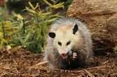 A Young oppossum Eating dinner