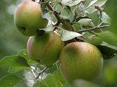 Apples On Tree