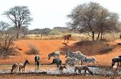 Blue Wildebeest, Zebra And Tsessebe
