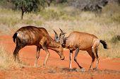 Red Hartebeest Fighting