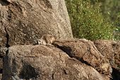 Rock Hyrax Camouflaged