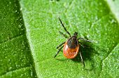 image of creepy crawlies  - Castor bean tick on the leaf - JPG
