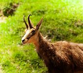 Chamois In The Pasture