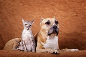 foto of staffordshire-terrier  - Cornish rex  - JPG
