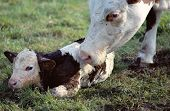 Cow Licking Her New Born Calf