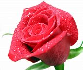 pic of single woman  - red rose covered with water droplets on white background - JPG