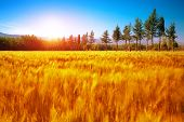 Beautiful autumn landscape, dry golden grass field, high green pine trees, autumnal nature, sunny da
