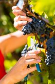 Woman winemaker picking grapes with shear at harvest time in the sunshine