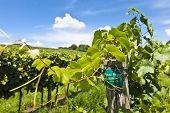 Vineyard Of Pinot Blanc Grape