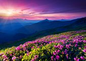 Magic pink rhododendron flowers on summer mountain. Dramatic overcast sky. Carpathian, Ukraine, Euro