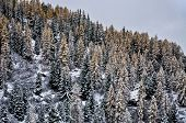 Autumn, Larches With Snow
