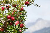Apple Tree Over Mountain Landscape