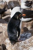 image of hoppers  - Single adult Rock Hopper penguin at breeding colony - JPG