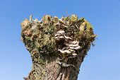 image of bracket-fungus  - Pollard willow with fungus against a blue sky - JPG