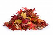 picture of knockout  - Pile of leaves - JPG