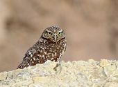 Burrowing Owl Staring