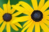 stock photo of black-eyed susans  - Selective focus shallow depth of field close - JPG