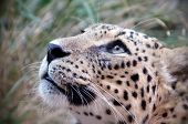Cheetah's eyes