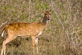 Chital Doe Eating