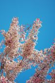 foto of cassia  - Cassia Grandis Flowers on Blue Sky background - JPG