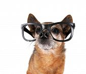 a cute chihuahua mix wearing glasses looking up