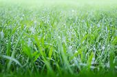image of fall-wheat  - Growing green fresh wheat on a rainy summer day - JPG