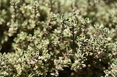 Thyme Herb growing in garden