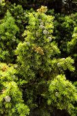 stock photo of juniper-tree  - Juniperus drupacea  - JPG