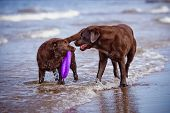 brown labrador retriever dogs at the sea
