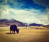 Vintage retro hipster style travel image of yak grazing in Himalayas mountains. Ladakh, India