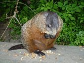 foto of gopher  - The gopher  eating the seeds and nuts - JPG