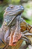 Vertical Close Up Of Lizard, Iguana, Iguana Iguana, Basking In T