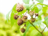Brown Unripe Raspberry Hanging On Bush With Fresh Green Leaves