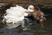 Large water buffalo enjoys a bath with geese cleaning him