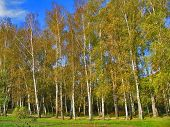 Autumn Preshpect From Side - Birch Trees On Wind, Yasnaya Polyana, Tula, Russia