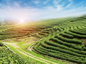 Beautiful Pattern Of Bright, Green Tea Garden On The Hill In China
