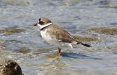 foto of inlet  - A Semipalmated Plover wades in the waters of the Sebastian Inlet at Sebastian Inlet State Park in Florida - JPG